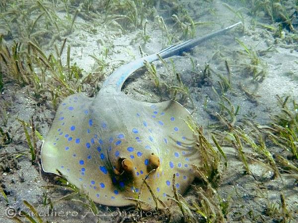 Pericoli del reef for Pesce rosso razza